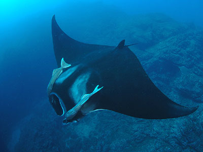 Manta Ray - copyright Ken Knezick, Island Dreams