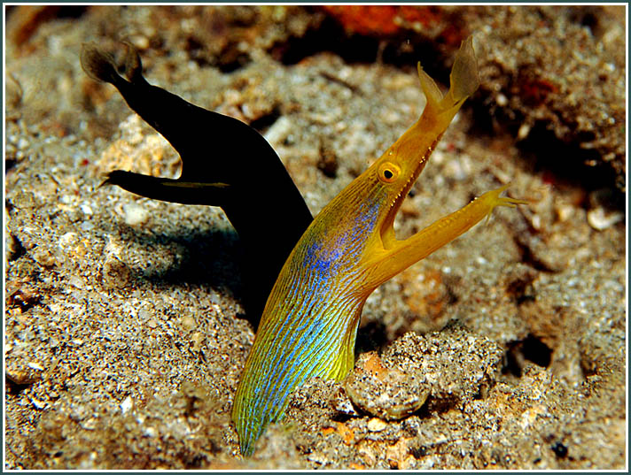 Pair of Ribbon Eels, Bunaken Marine Park - copyright 2011, Ken Knezick