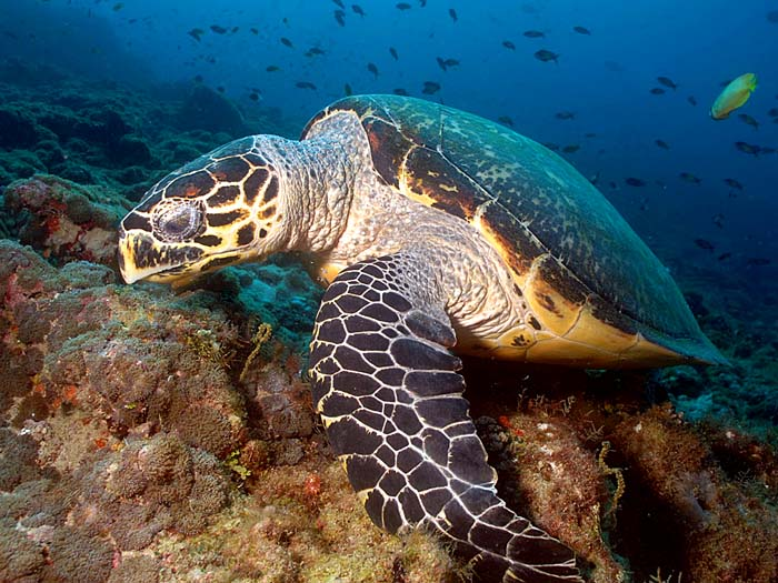 Hawksbill Turtle in the Maldives - Copyright Ken Knezick, Island Dreams