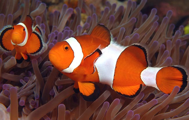 Philippines Clown Fish, copyright Ken Knezick - Island Dreams
