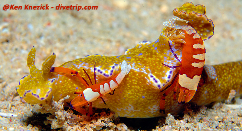 Nudibranch with Coleman Shrimp - copyright Ken Knezick, Island Dreams
