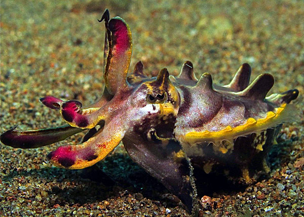 Flambouyant Cuttlefish - copyright Sue Goodman