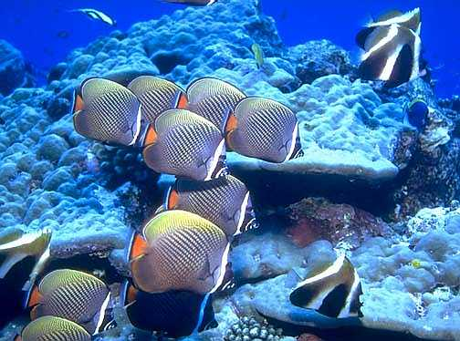 School of Reticulated Butterflyfish
