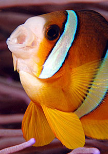 Clown fish shout, Puerto Galera, Philippines - Copyright Ken Knezick, Island Dreams