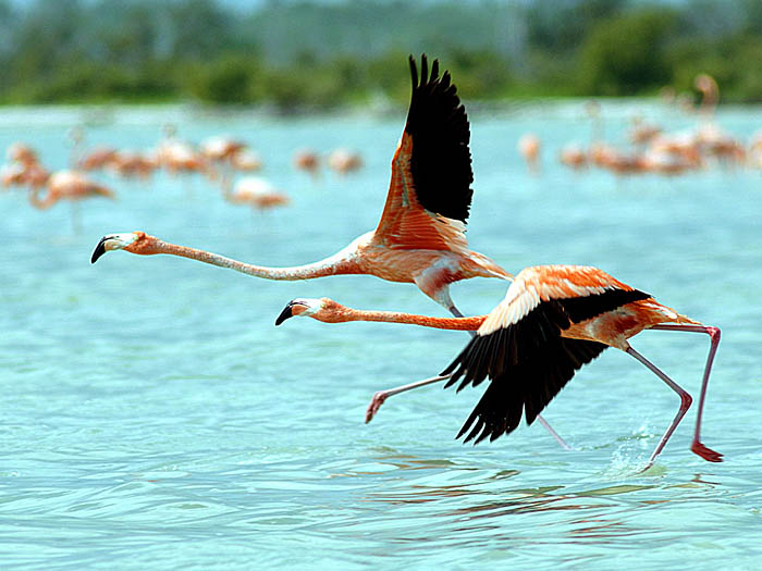 Flamingos - copyright Ken Knezick, Island Dreams