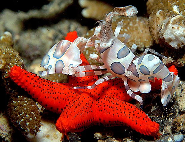 Harlequin Shrimp on Starfish - copyright Ken Knezick, Island Dreams