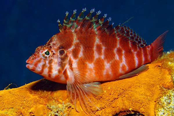 Hawkfish at Puerto Galera - copyright Ken Knezick, Island Dreams