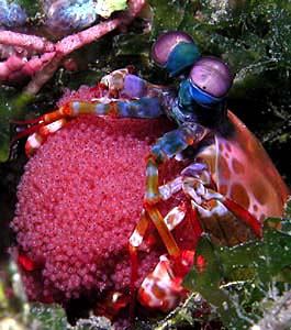 Mantis Shrimp with Eggs, Copyright Ken Knezick - Island Dreams