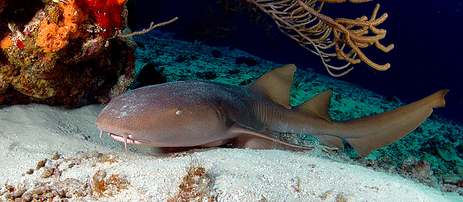 Nurse Shark in Cozumel, Mexico - copyright Ken Knezick, Island Dreams