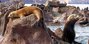 Sea Lion in the Sea of Cortez - copyright Ken Knezick, Island Dreams