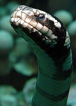 Banded Sea Krait - Copyright Ken Knezick, Island Dreams