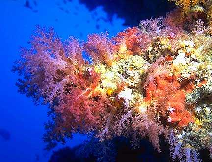 Soft Coral Wall in the Maldives - Maldives Report and Photos copyright Ken Knezick, Island Dreams