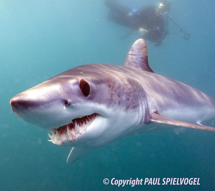 Mako Shark - copyright Paul Spielvogel