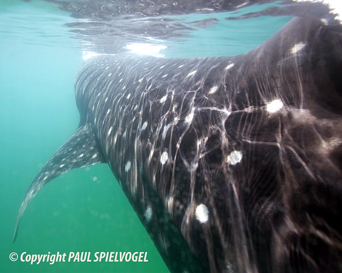 Whale Shark - copyright Paul Spielvogel