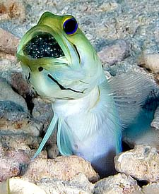 Jawfish with Eggs, copyright Tom Collier