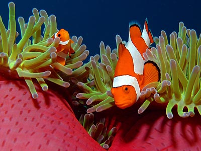 Pair of False Clownfish / Amphiprion ocellaris - copyright Ken Knezick
