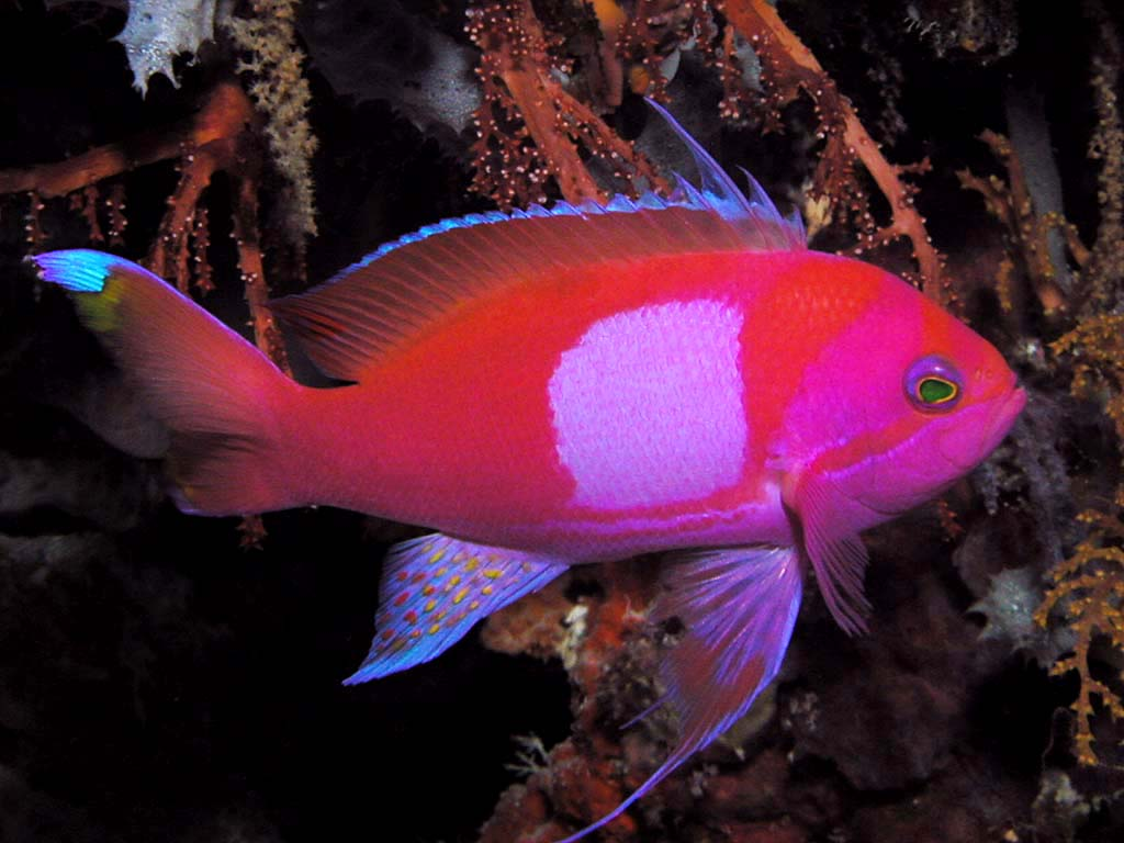 Square Spot Anthias