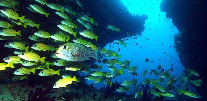 Yellow Snapper in Blue Cave - Maldives Report and Photos copyright Ken Knezick, Island Dreams