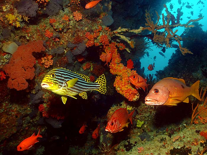 Oriental Sweetlips in the Maldives - Copyright Ken Knezick, Island Dreams